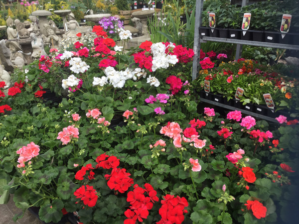 geraniums-website